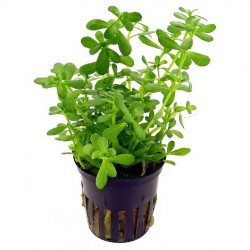 BACOPA MONERII AQUAFLEUR
