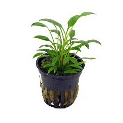 CRYPTOCORYNE NEVILLI WILLIISII SUNGROW